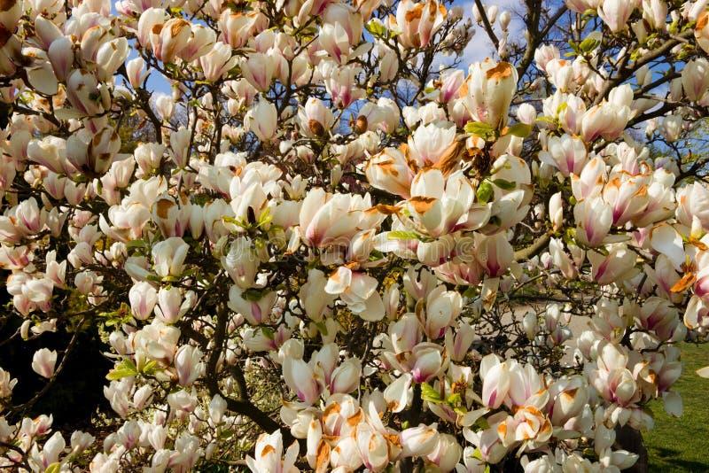 Arbusto blanco de la magnolia foto de archivo