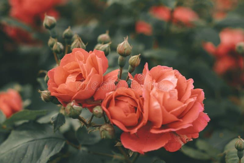 Arbusto bonito de rosas de chá Mola e flor do ver?o Jardim de rosas foto de stock royalty free