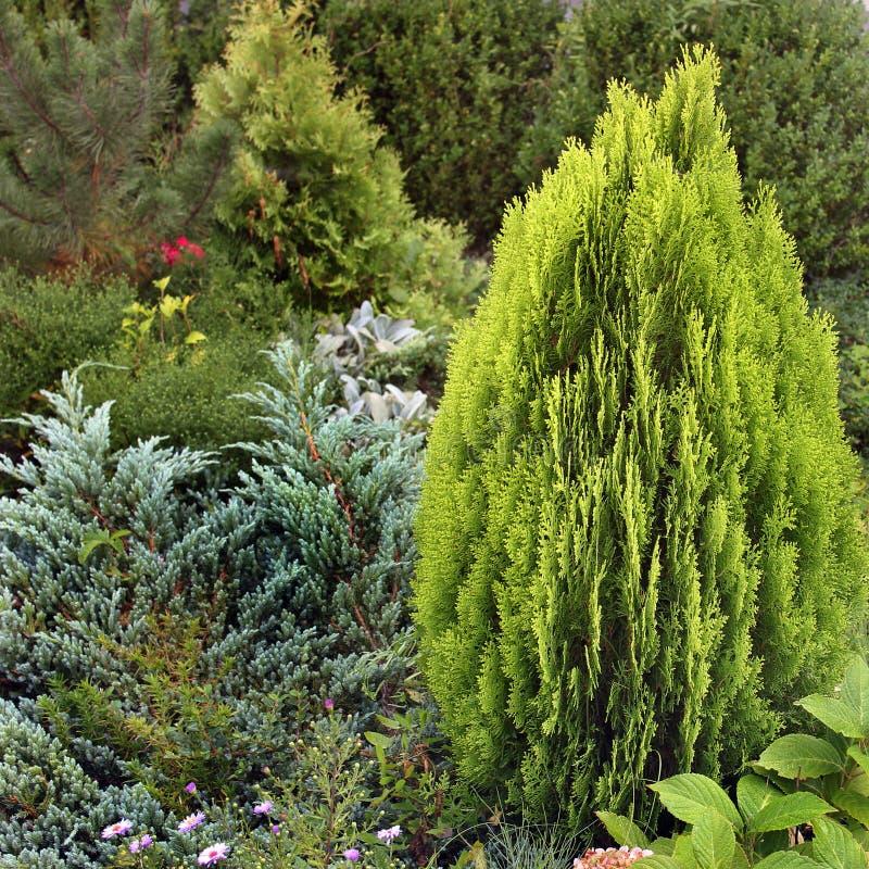Arbusto bonito na jarda imagem de stock