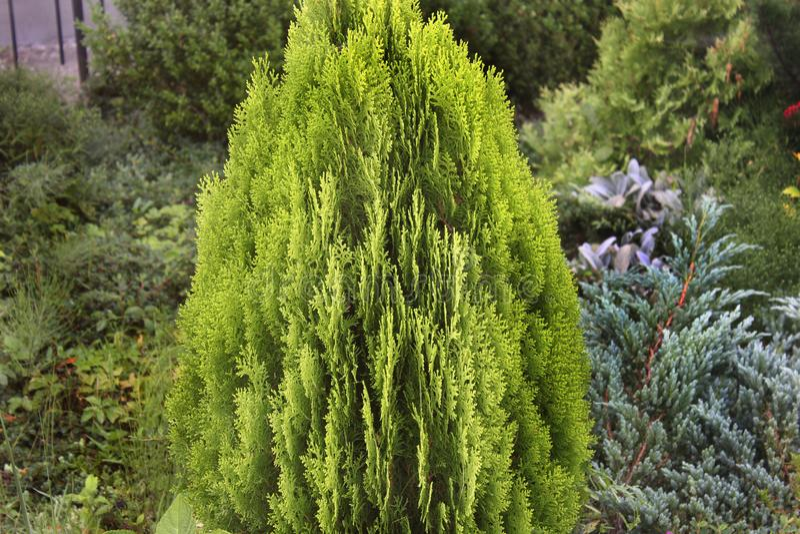 Arbusto bonito na jarda imagens de stock royalty free