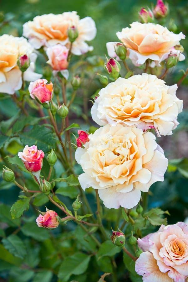 Arbusto color de rosa amarillo claro con los brotes rojos en el jardín fotos de archivo