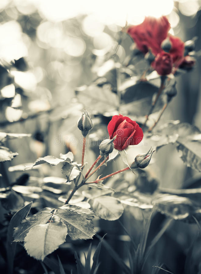 Arbusto color de rosa del jardín fotos de archivo