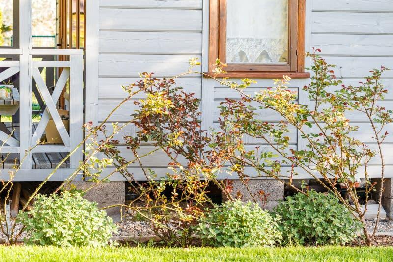 Arbusto color de rosa hermoso cerca de la ventana en la pared de madera fotografía de archivo libre de regalías