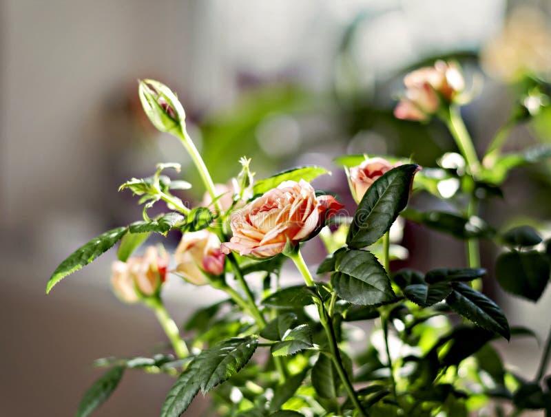 Arbusto color de rosa miniatura en una maceta en la luz del sol foto de archivo libre de regalías