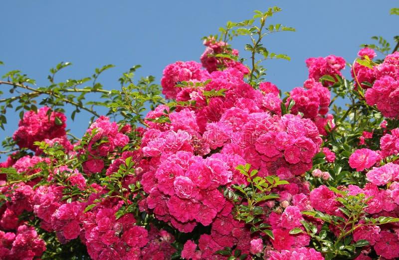 Arbusto color de rosa rosado flourishing, plena floración foto de archivo libre de regalías