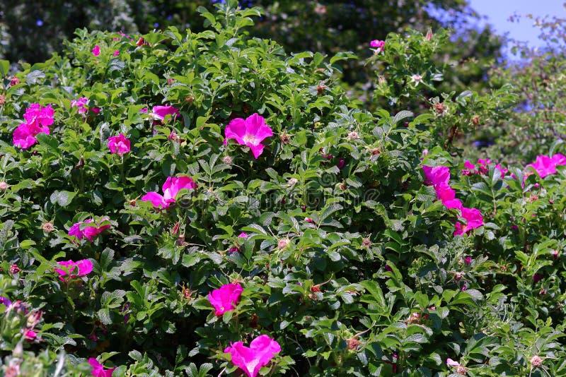 Arbusto color de rosa salvaje foto de archivo