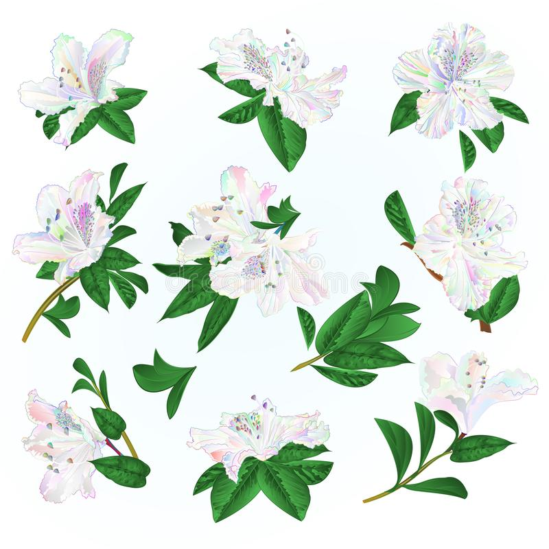 Arbusto coloreado multi de la montaña de los rododendros y de las hojas de las flores en un ejemplo azul del vector del vintage d ilustración del vector