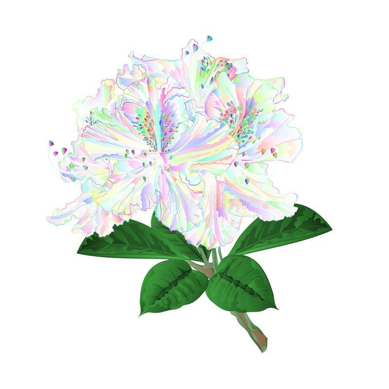 Arbusto colorido da montanha do galho dos rododendros das flores em uma ilustração branca do vetor do vintage do fundo editável ilustração stock