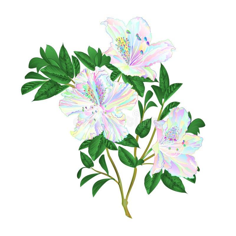 Arbusto colorido da montanha dos rododendros do galho dos rododendros das flores do galho em um edita branco da ilustração do vet ilustração stock