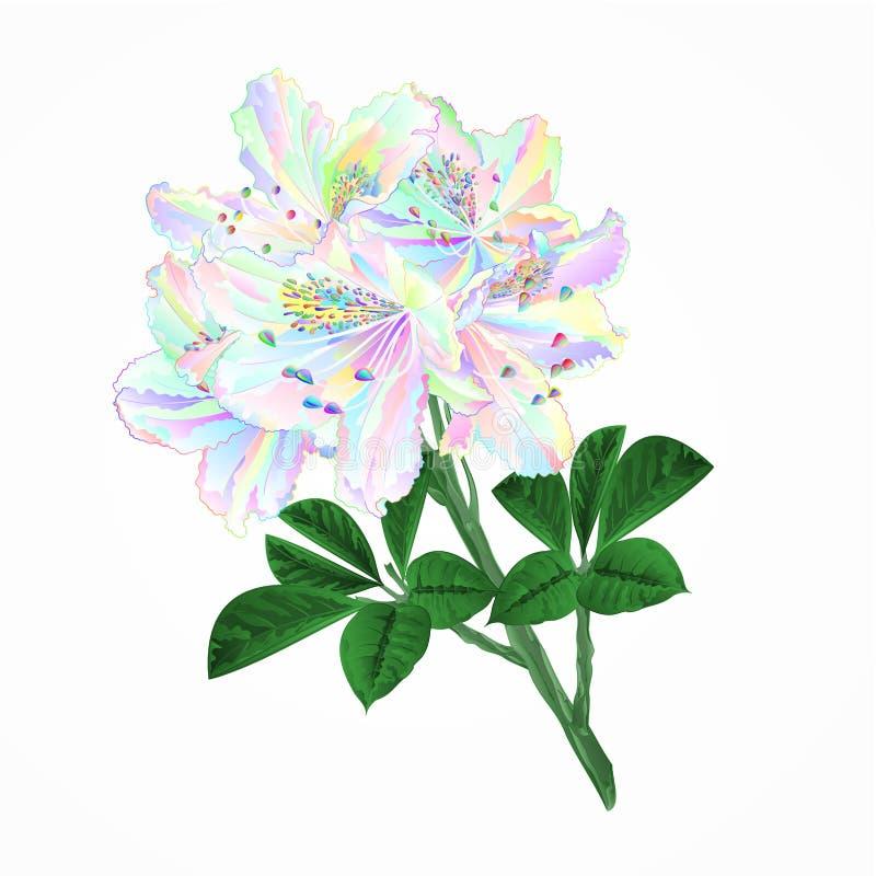 Arbusto colorido da montanha dos rododendros do galho das flores em uma ilustração branca do vetor do vintage do fundo editável ilustração royalty free