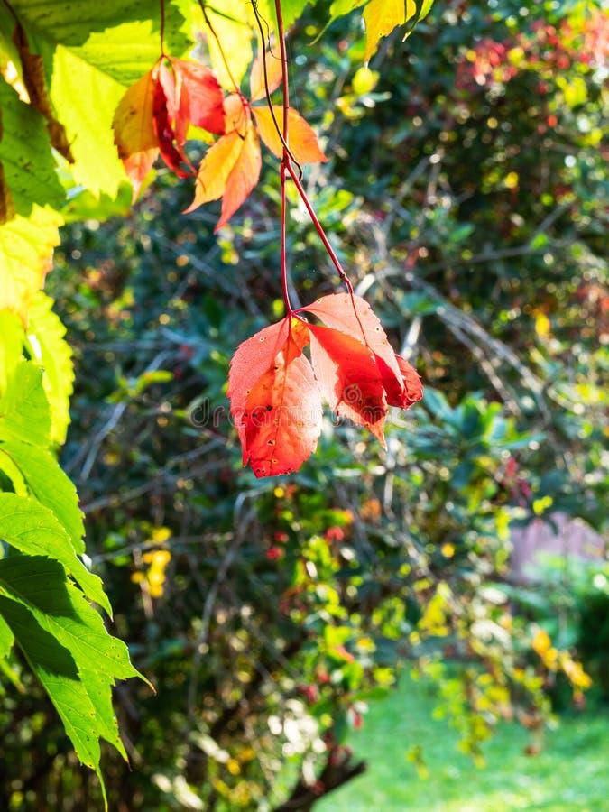 Arbusto colorido iluminado pelo sol no quintal fotos de stock royalty free