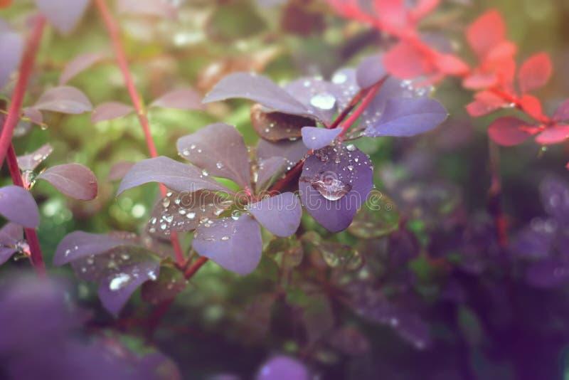 Arbusto com as folhas da violeta cobertas com as gotas da água da chuva imagem de stock royalty free