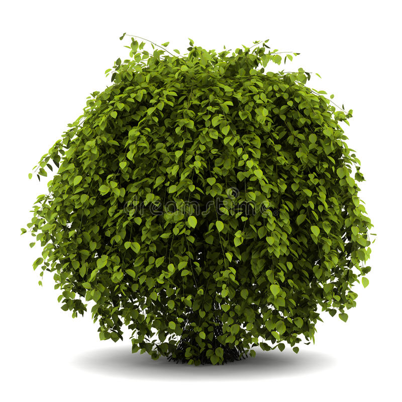 Arbusto comum do hornbeam isolado no branco fotografia de stock