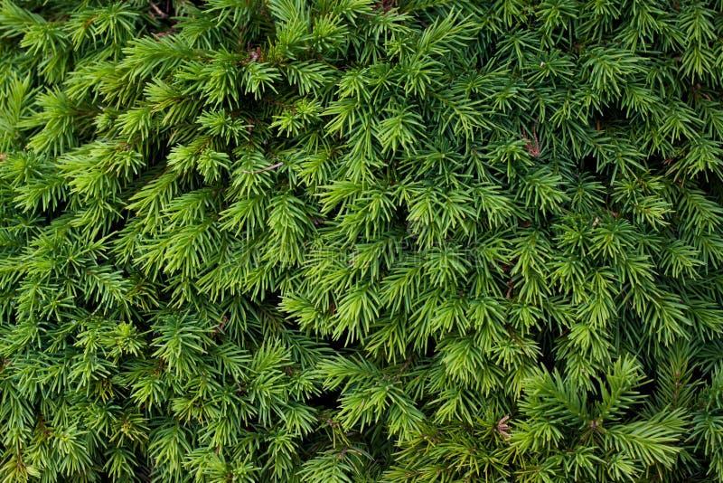 Arbusto conífero imagens de stock