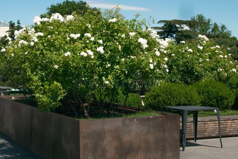Arbusto con i fiori bianchi Aiola nella città Natura nella citt? fotografia stock
