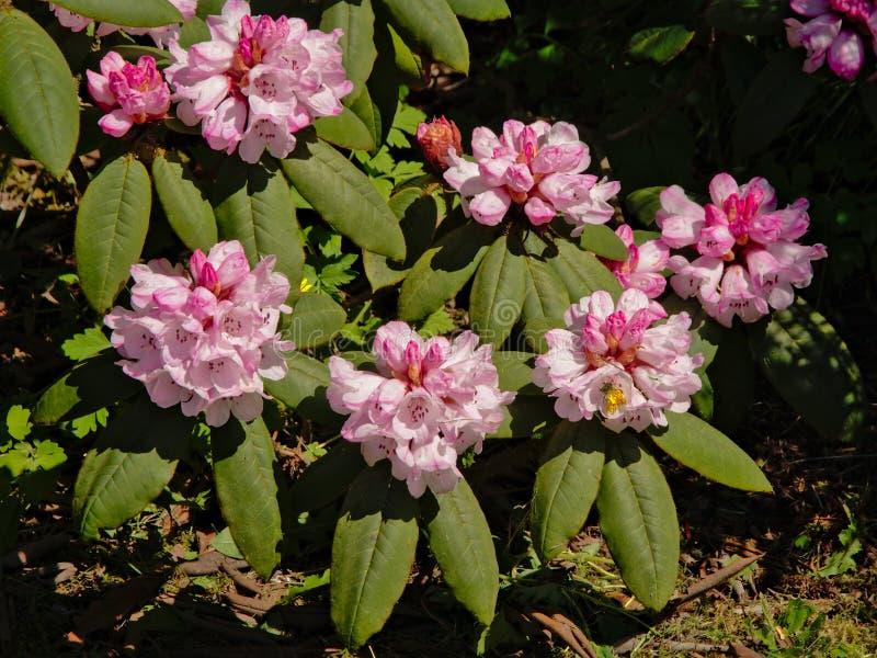 Arbusto con las flores rosadas, foco selelctive del rododendro fotografía de archivo