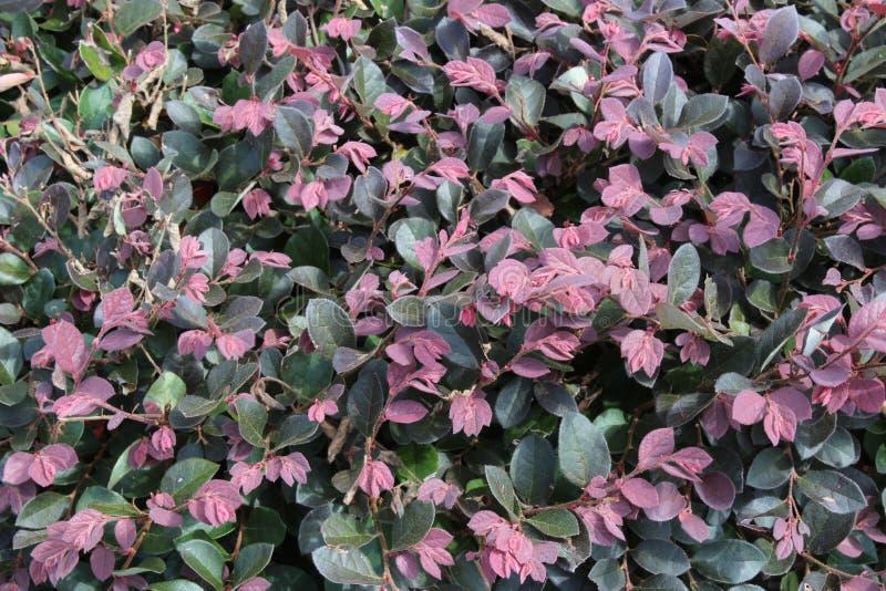 Download Arbusto Con Las Hojas Rosadas Y Verdes Densas Imagen de archivo - Imagen de textura, orgánico: 100532679