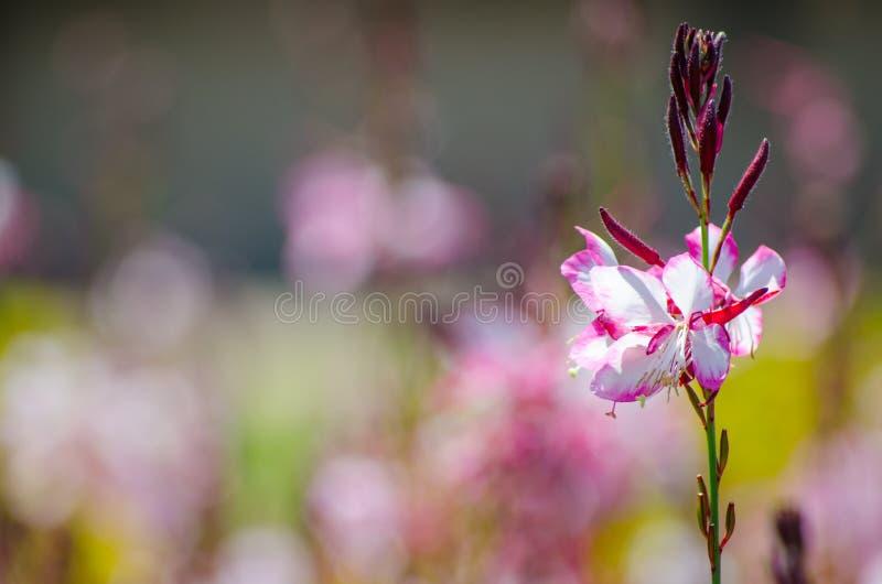 Arbusto cor-de-rosa bonito bonito da flor ou de borboleta do gaura em uma estação de mola em um jardim botânico imagens de stock