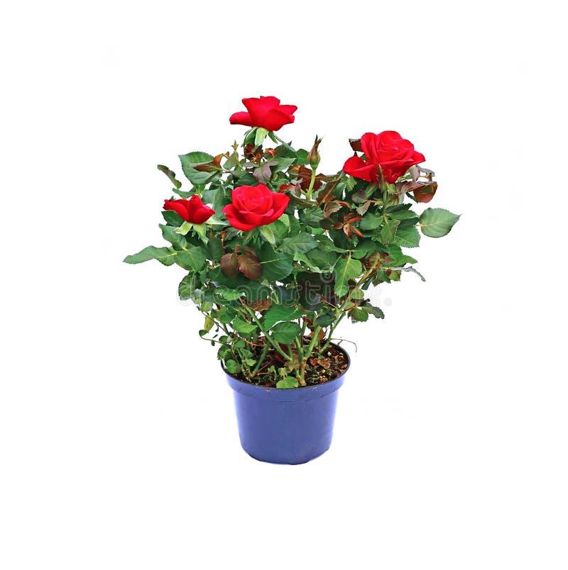 Arbusto cor-de-rosa de florescência do chá em um potenciômetro do jardim isolado imagens de stock royalty free
