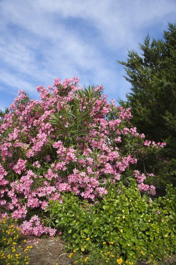 Arbusto cor-de-rosa de florescência do Oleander. imagens de stock