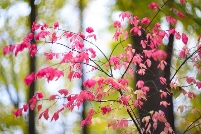 Arbusto cor-de-rosa do outono na floresta fotografia de stock