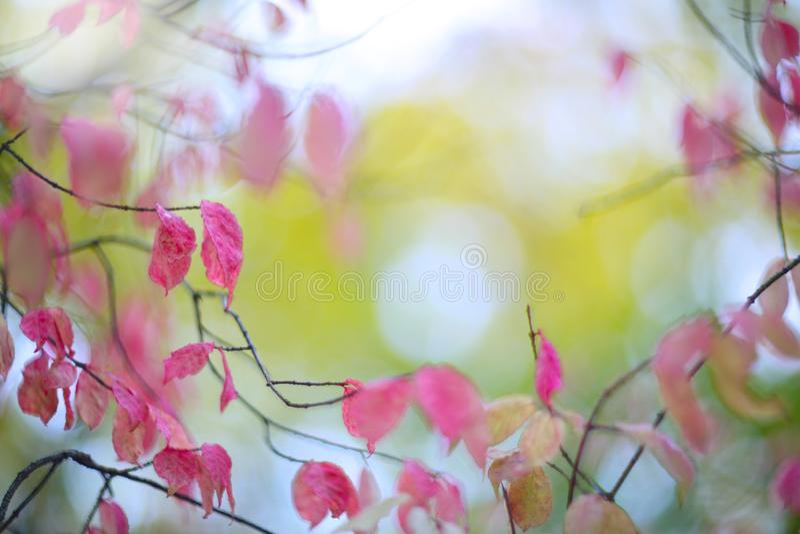 Arbusto cor-de-rosa do outono na floresta imagens de stock