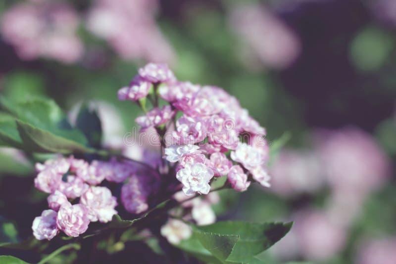 Arbusto cor-de-rosa de florescência do espinho de terry com fundo obscuro fotografia de stock royalty free