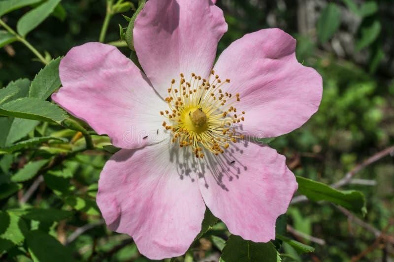 Arbusto cor-de-rosa selvagem imagem de stock royalty free