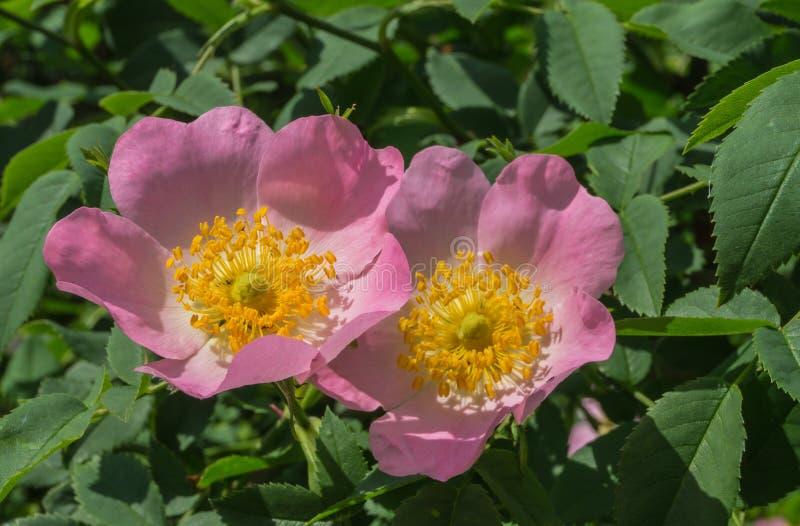 Arbusto cor-de-rosa selvagem fotografia de stock