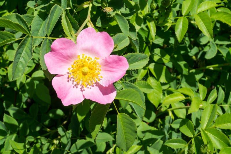 Arbusto cor-de-rosa selvagem fotografia de stock royalty free