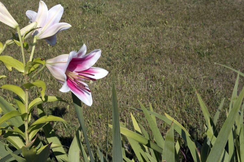 Arbusto creciente romántico de los lirios blancos con base púrpura fotos de archivo libres de regalías
