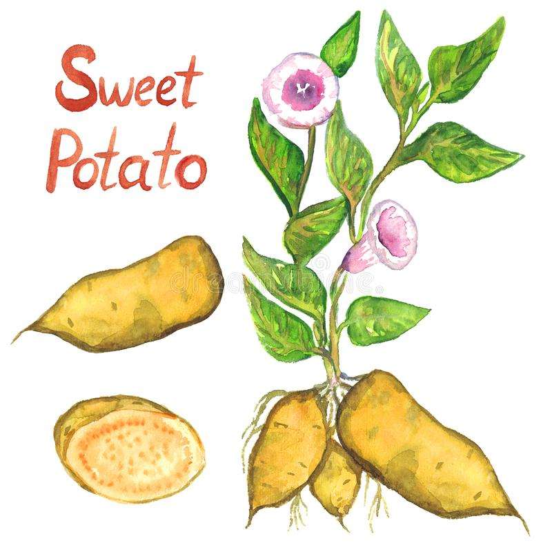 Arbusto da batata doce com flores, folhas, a batata doce e fatia cortada ilustração stock