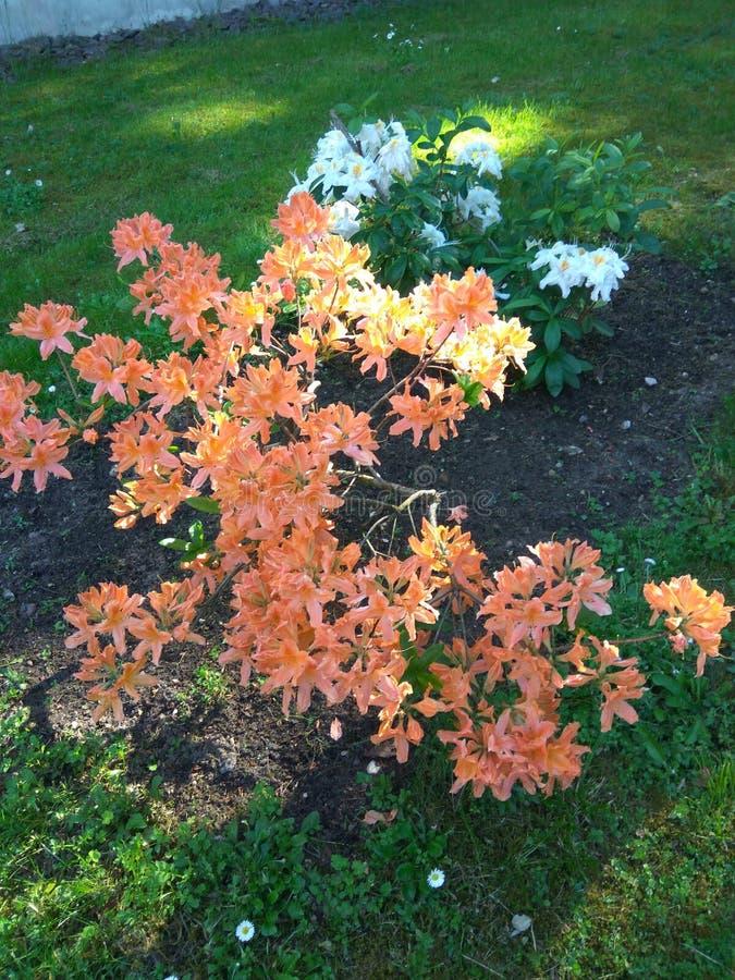 Arbusto da flor fotografia de stock royalty free
