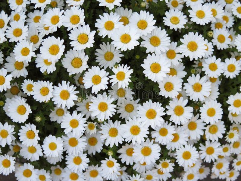 Arbusto da flor da margarida branca foto de stock royalty free