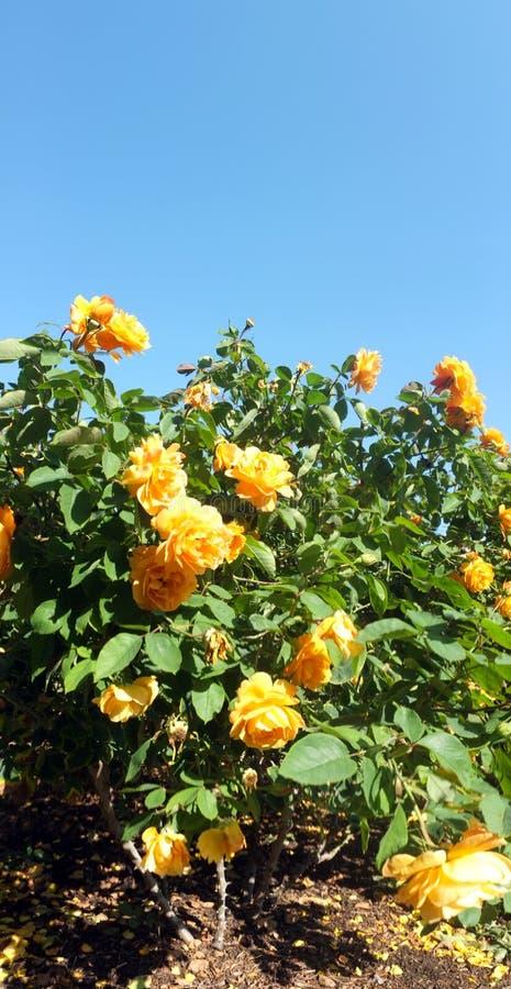 Arbusto da flor de Rosa imagem de stock
