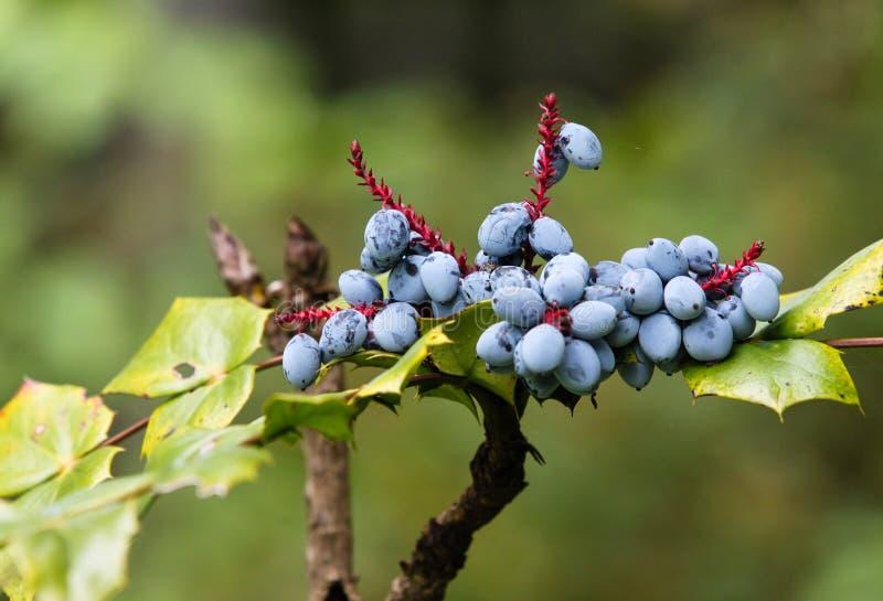 Arbusto da fruta de Japonica Bealei do Mahonia fotografia de stock