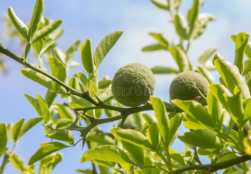 Arbusto da laranja amarga - trifoliata do poncirus imagem de stock