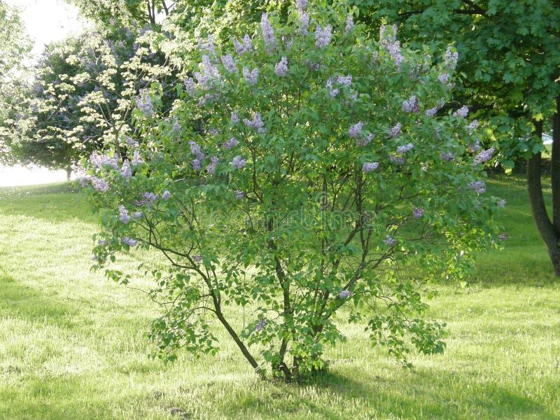 Arbusto da mola do lilás no no parque imagem de stock royalty free