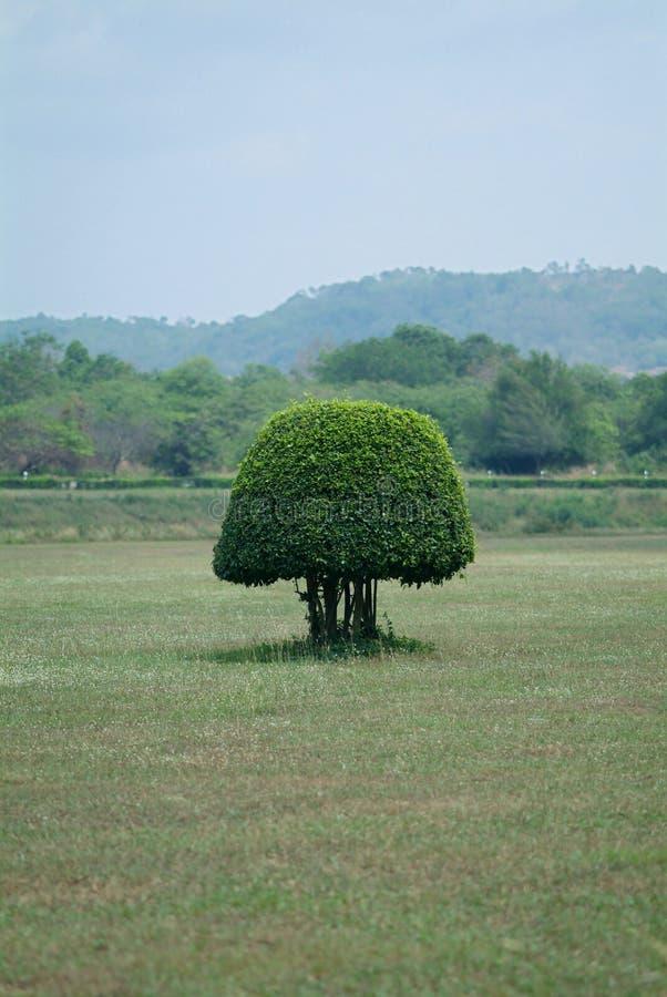 Arbusto dado forma pequeno em um campo fotografia de stock