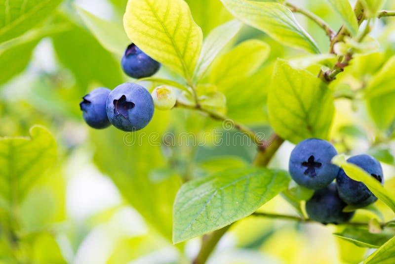 Arbusto de arándano verde con fruta madura - fondo de verano imagenes de archivo