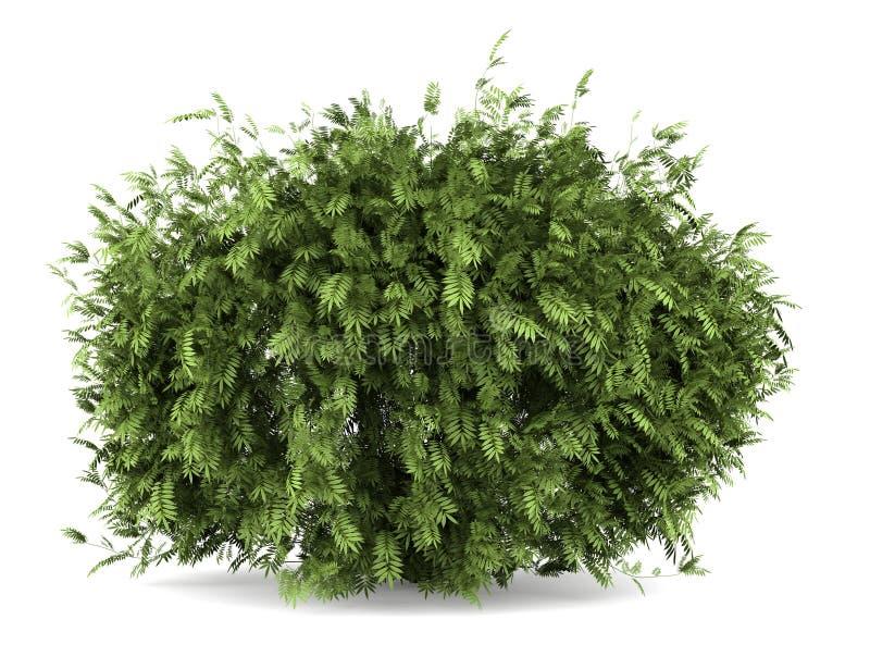 Arbusto de baga de sabugueiro isolado no branco fotografia de stock