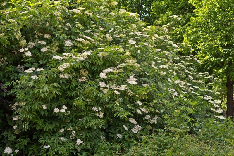 Arbusto de baya del saúco floreciente grande imagen de archivo libre de regalías