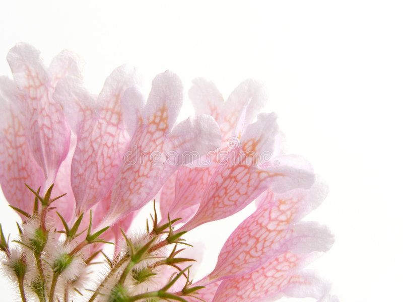 Arbusto de beleza cor-de-rosa fotografia de stock royalty free