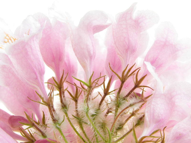 Arbusto de belleza rosado fotografía de archivo