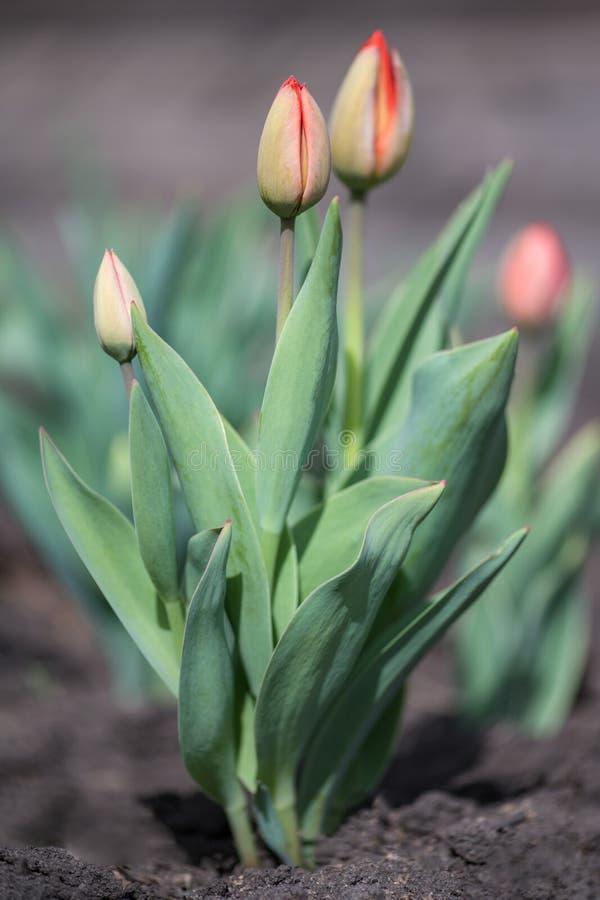 Arbusto de claro - tulipas holandesas cor-de-rosa no jardim fotos de stock