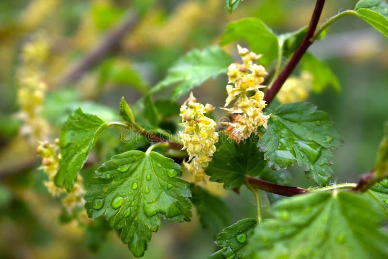 Arbusto de corinto após a chuva imagens de stock