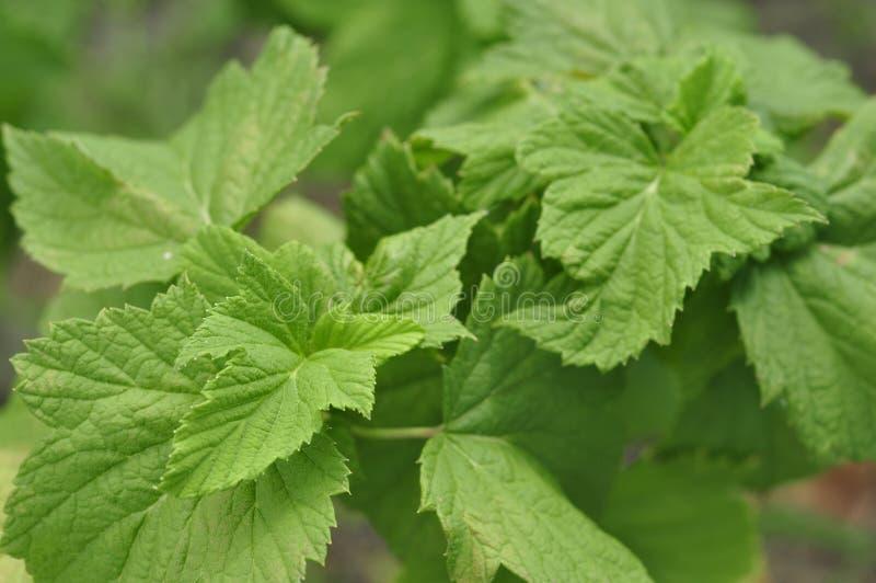 Arbusto de corinto suculento verde da folha apropriado para o chá da fabricação de cerveja foto de stock