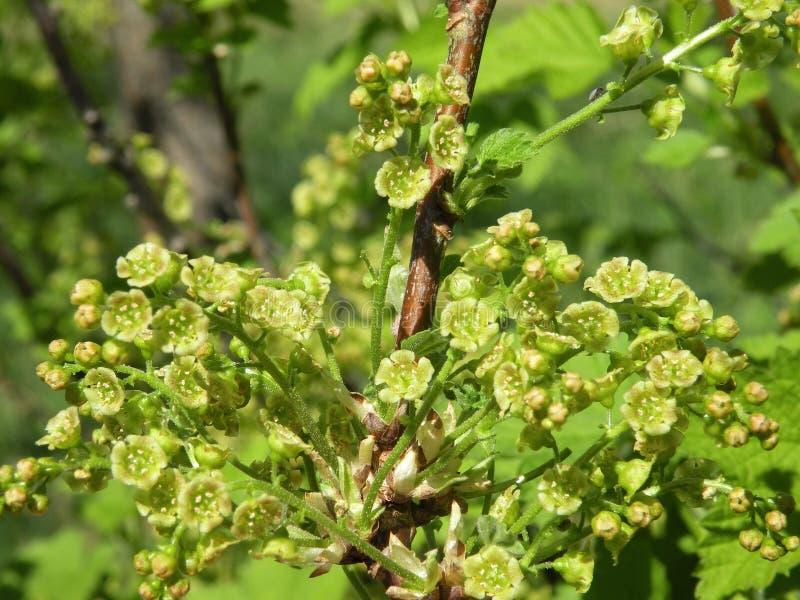 Arbusto de corinto vermelho de florescência imagem de stock royalty free