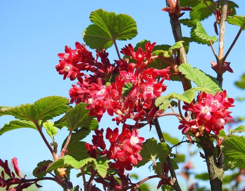 Arbusto de corinto vermelho de florescência fotografia de stock royalty free