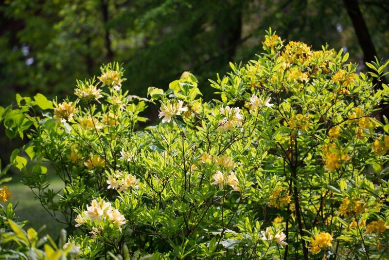 Arbusto de florecimiento del cierre amarillo del rododendro para arriba en un jardín botánico fotografía de archivo libre de regalías